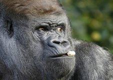 Medium western lowland gorilla