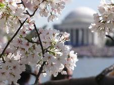 Medium 075 family vacations national cherry blossom festival
